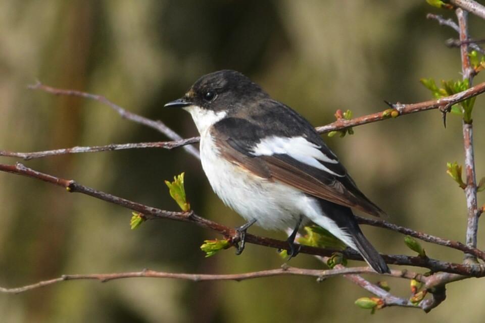 Pied Flycatcher (A Hood)