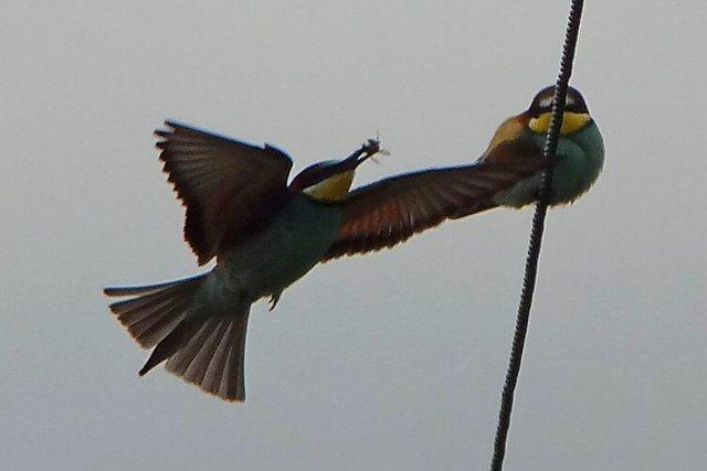 EuropeanBee-eaters, Lighthouse Road, Tony Dixon