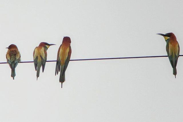 Bee-eaters at Grange farm, 23 May. Tony Dixon