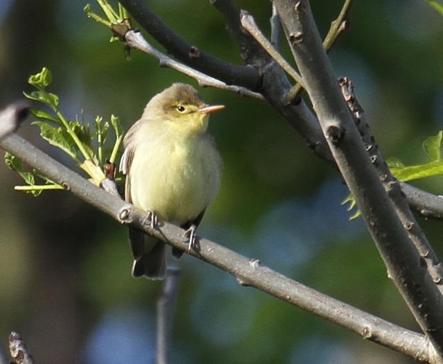 Icterine Warbler, Old Fall. Lee Johnson