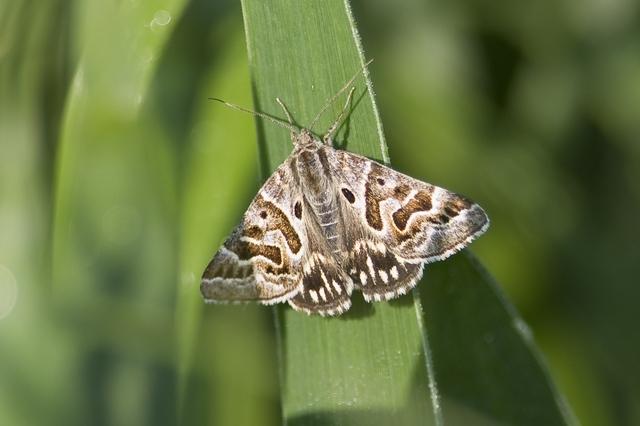 Mother Shipton moth. 1st Flamborough record. Andrew Allport