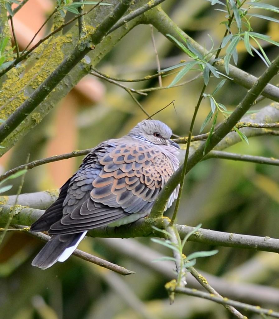 Turtle Dove at Bempton, Geoff Carr