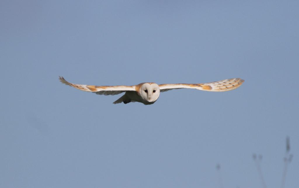 Barn Owl (P Reed)