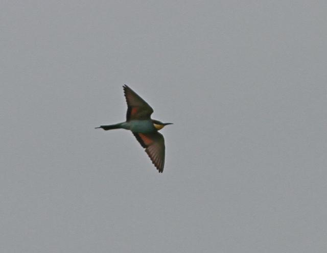 European Bee-eater. Martin Garner