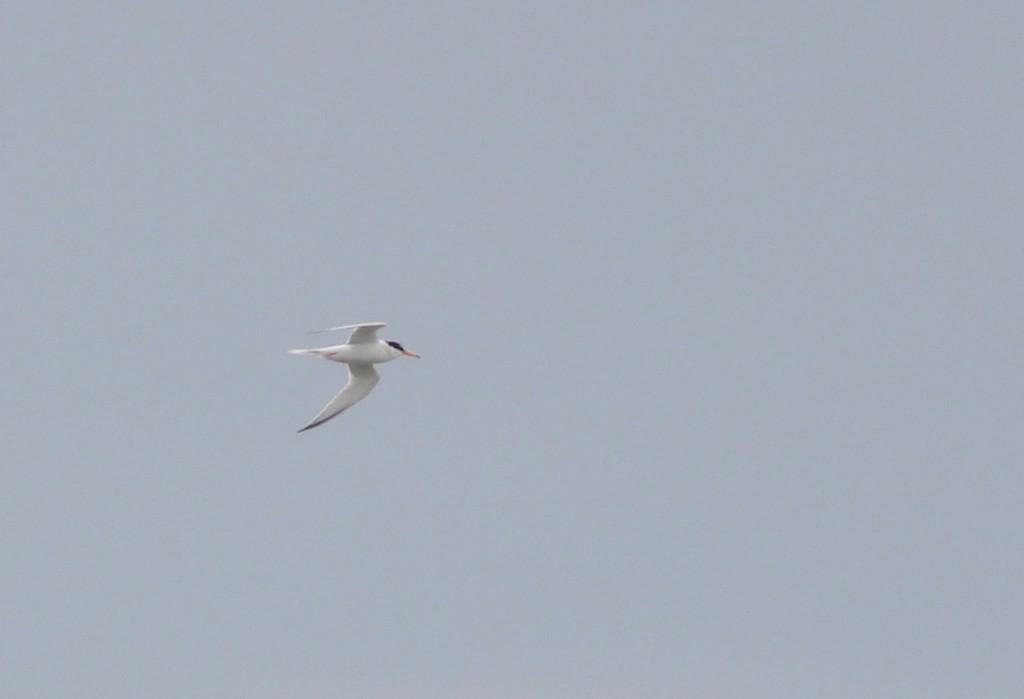 Little Tern (M Pearson)
