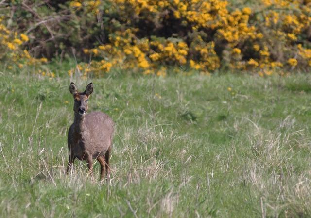 Roe Deer. Mark Pearson