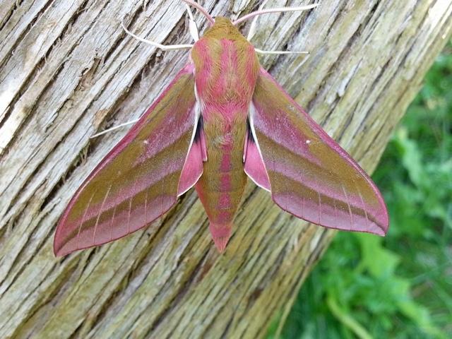 Elephant Hawk Moth, Martin Garner
