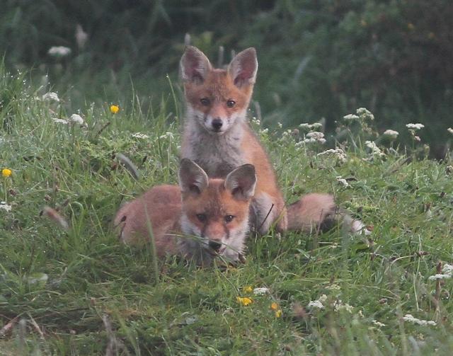 early morning Fox cubs. Martin Garner