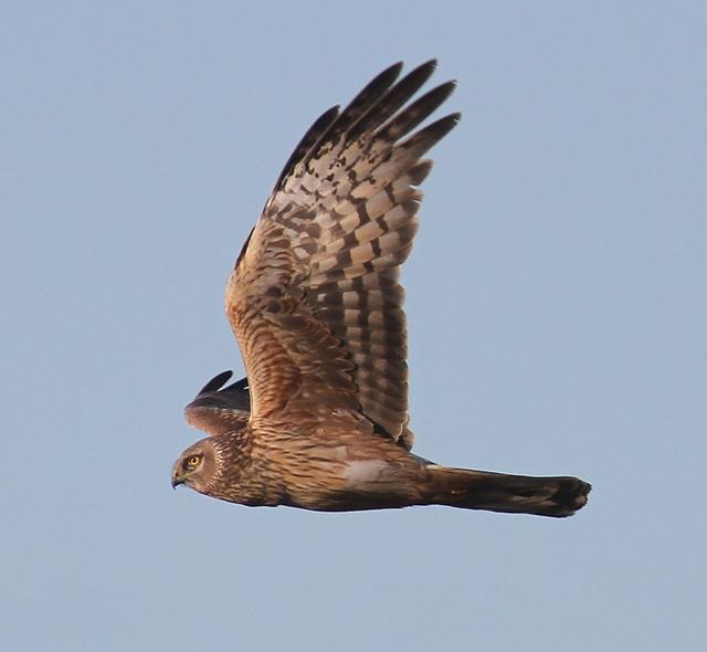 1st summer female Hen Harrier, Buckton. Paul Reed.