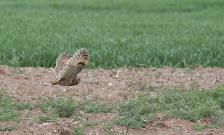 Long-eared Owl (M Thomas)