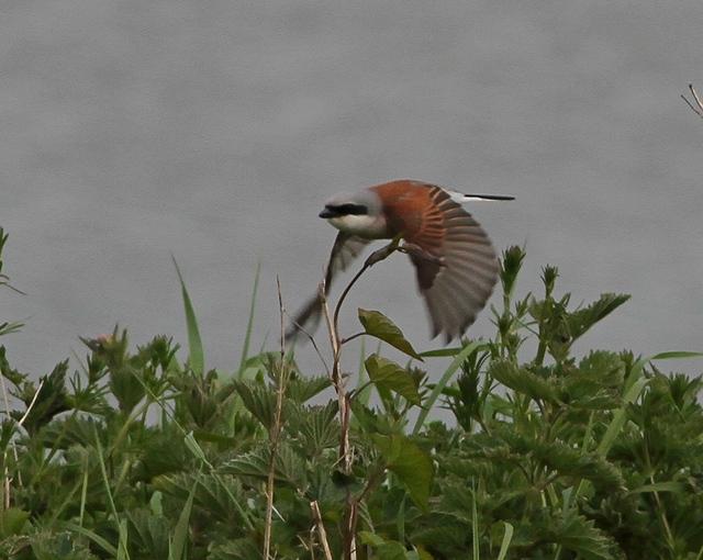Adult male Red-backed Shrike, Thornwick. Martin Garner