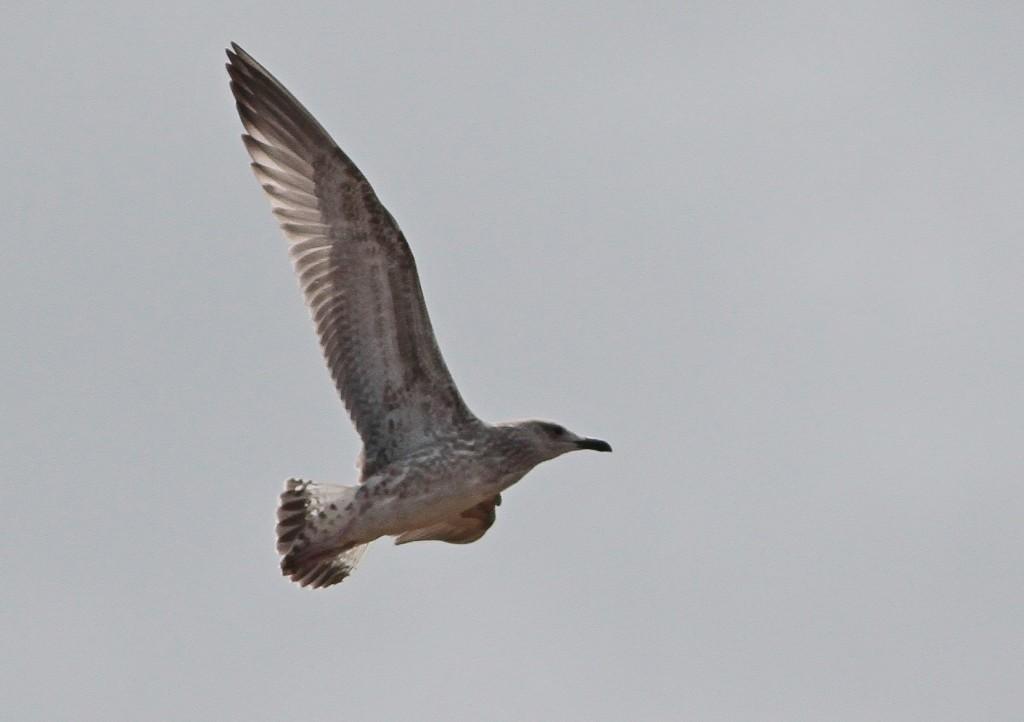 1st winter Caspian Gull. Martin Garner