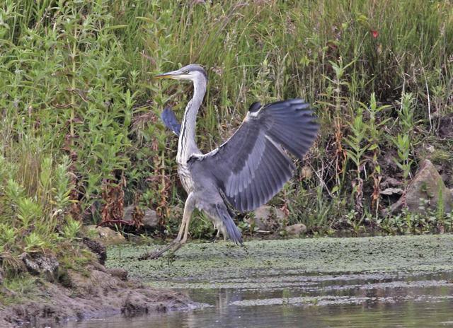 juvenile Grey Heron, John Cunniff