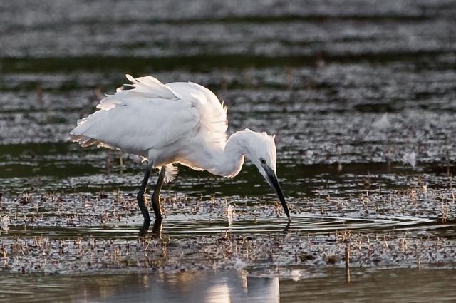 Little Egret, Andrew Allport
