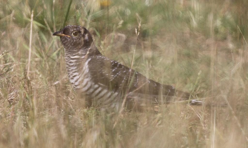 Juvenile Cuckoo, Thornwick Pool, by Paul Reed