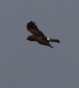 Hen Harrier Buckton by Paul Reed
