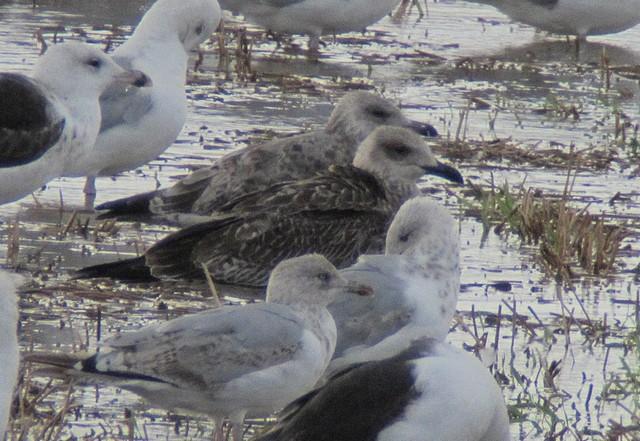 juvenile- first winter Yellow-legged Gull, Martin Garner
