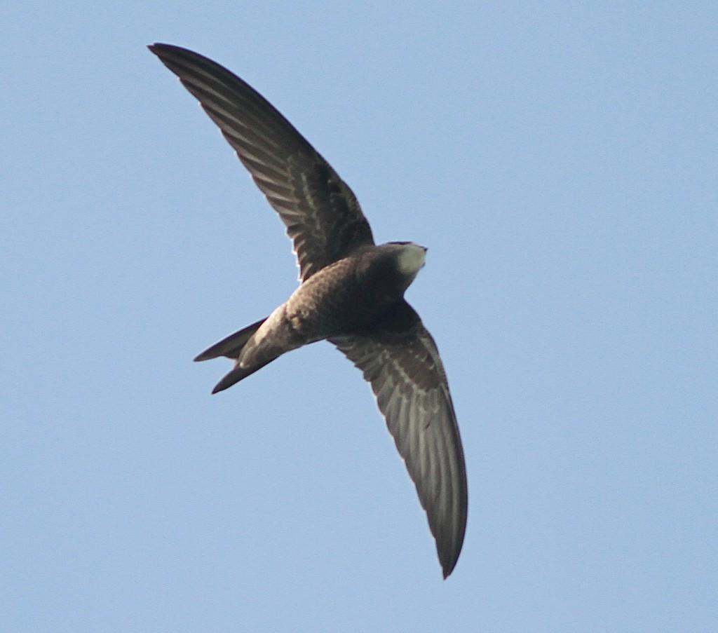 juvenile Common Swift over Golf Course. Martin Garner