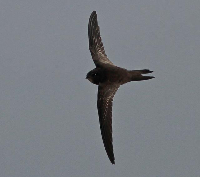juvenile Common Swift Martin Garner 14.8.14