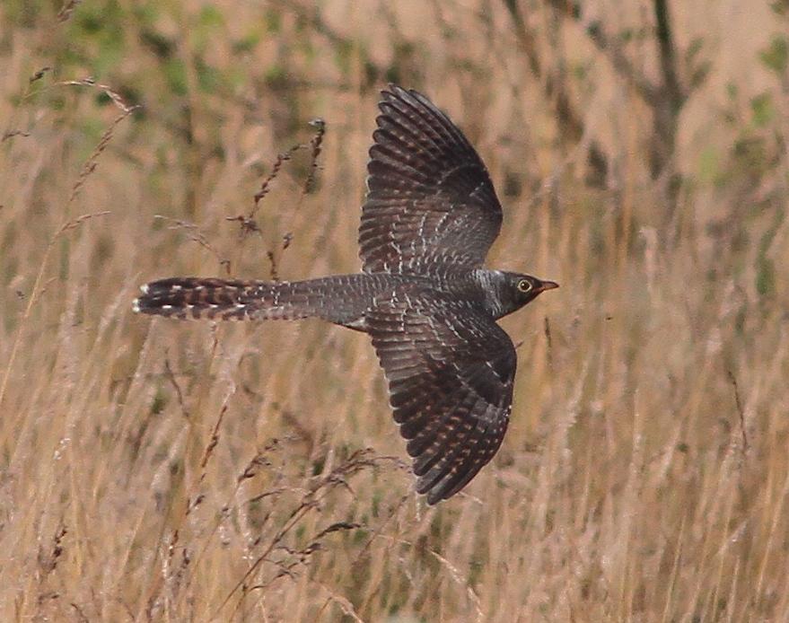 Juvenile Cuckoo, Thornwick Pool, by Martin Garner