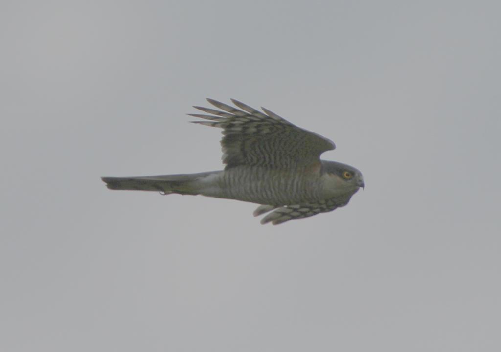 Sparrow Hawk, Flamborough village, by Paul Reed