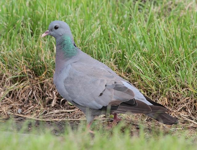 Stock Dove at Flamborough
