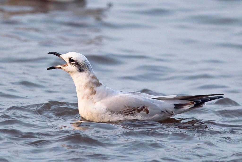 Mediterranean Gull, South Landing, Andrew Allport