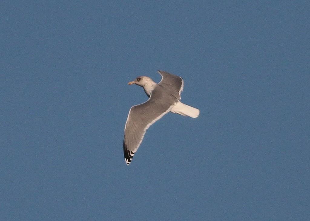 Argentatus Herring Gull, Martin Garner