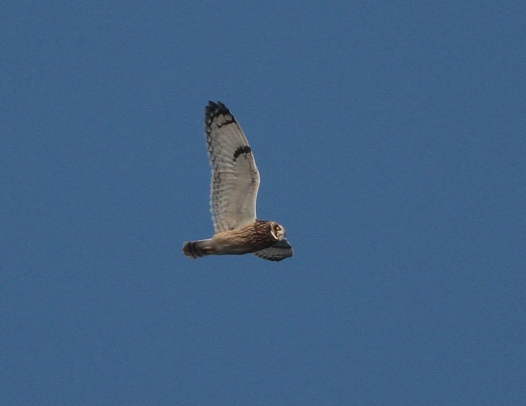 Short-eared Owl, Martin Garner