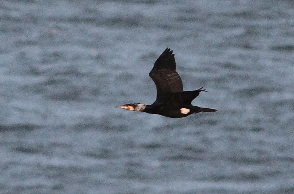 sinensis Cormorant, by Martin Garner