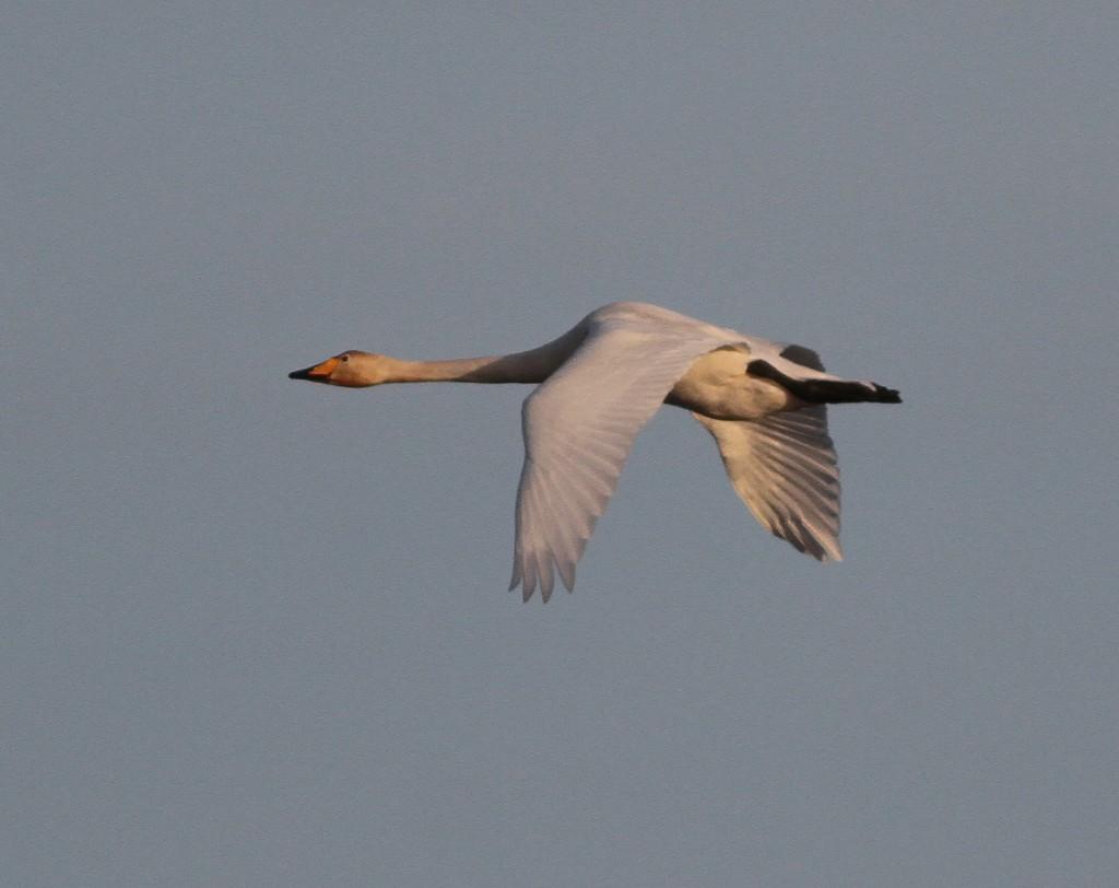 Whooper Swan, by Martin Garner