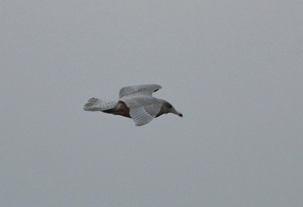 Juvenile Glaucous Gull, Martin Garner