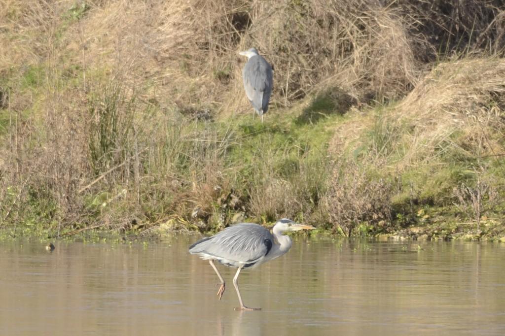 Grey Herons at Thornwick Pool, by Andy Hood