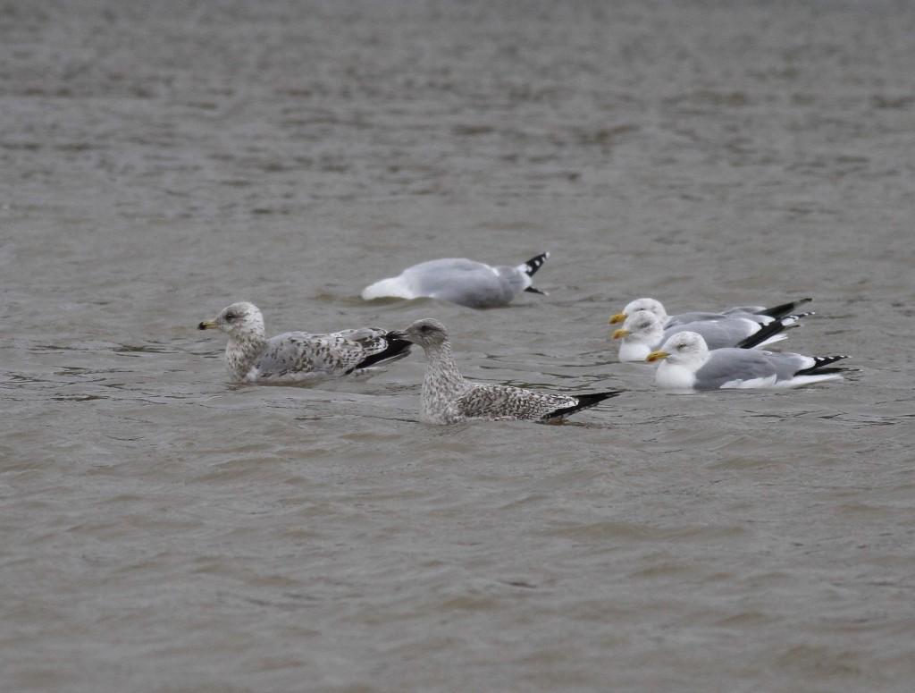 Herring Gulls, Thornwick Pool, by John Beaumont