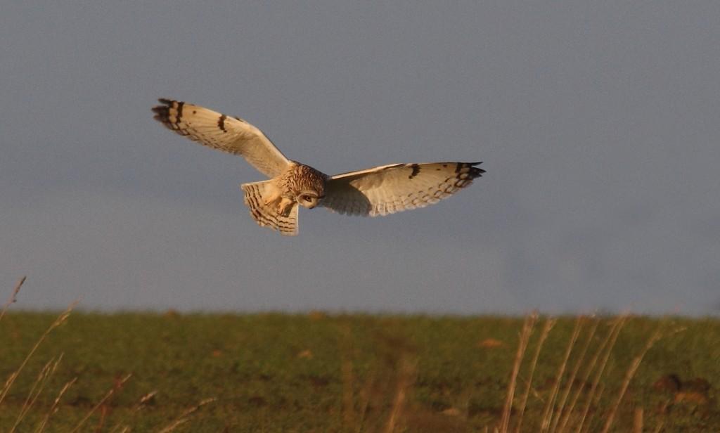 Short-eared Owl at Buckton, by Alan Walkington