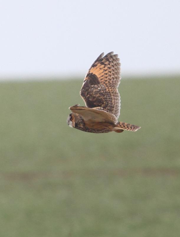 Long-eared Owl, Buckton, by Paul Reed