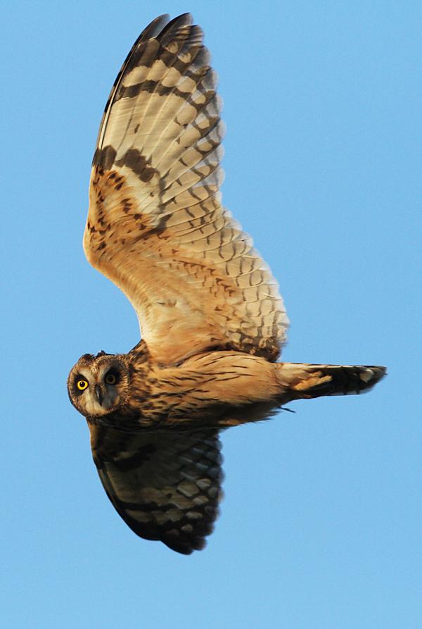 Short-eared Owl, Buckton, Mark Thomas