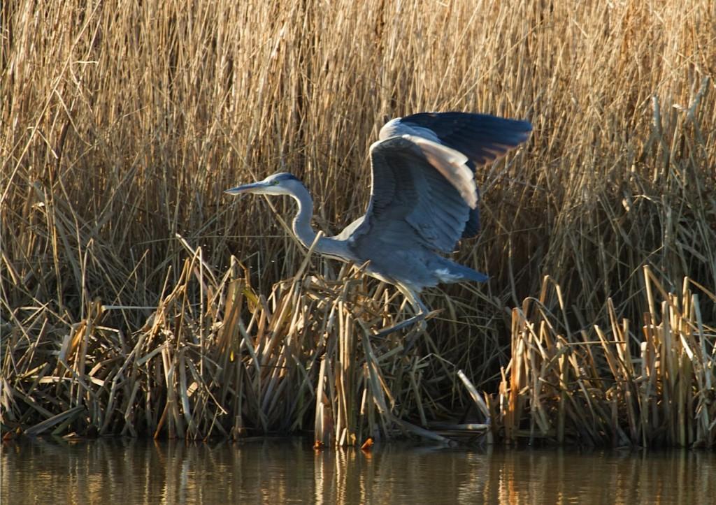 Grey Heron, Thornwick Pool, by Jo Collins