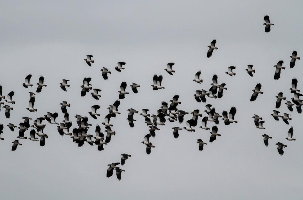 Lapwings at North Dykes, by Martin Garner