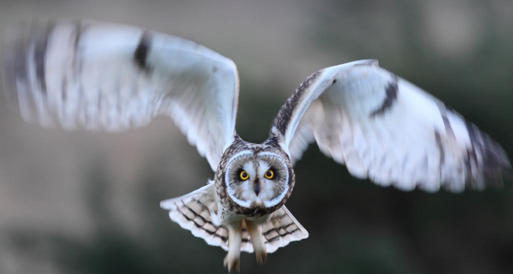 Short-eared Owl, Buckton, by Paul Reed