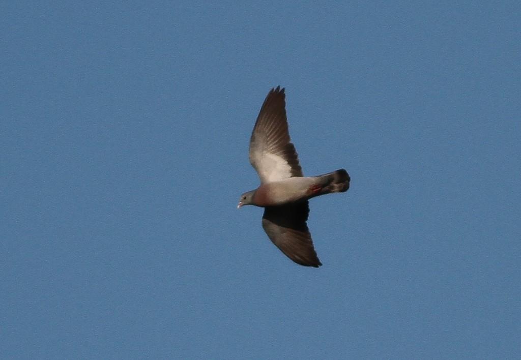Stock Dove, by Martin Garner
