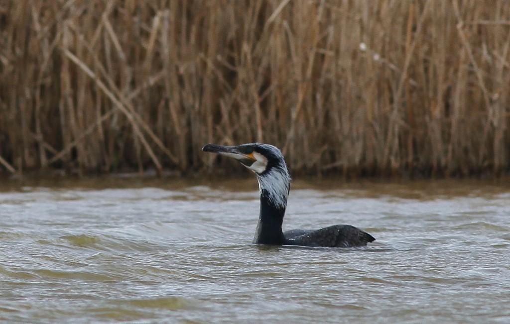 Cormorant, Thornwick Pool, by Craig Thomas