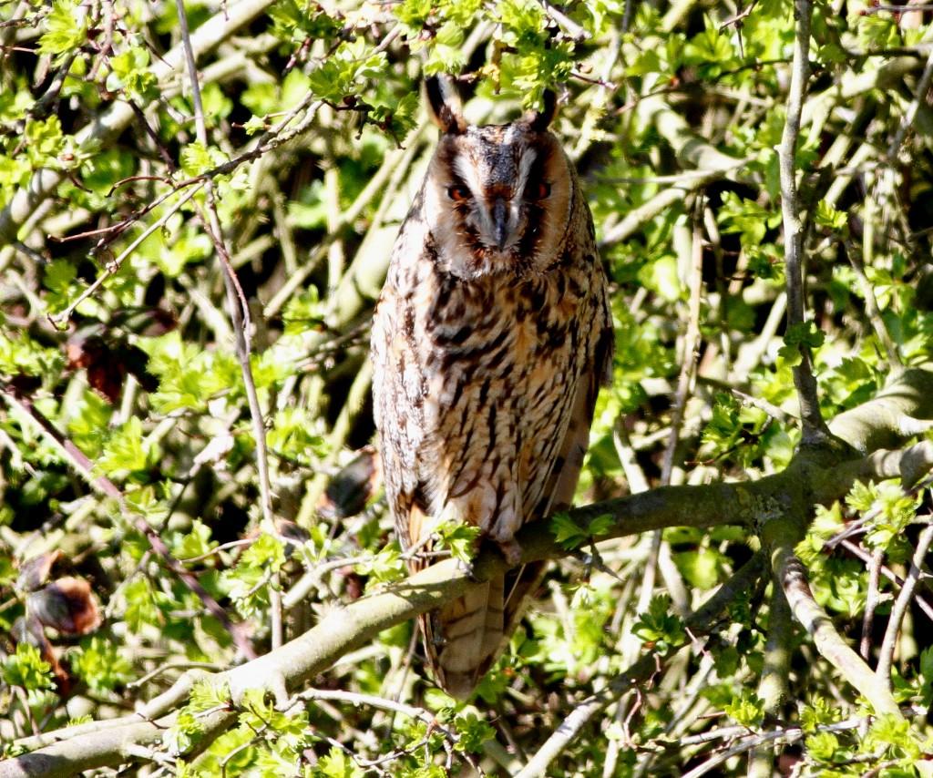 Long-eared Owl, Flamborough, by Craig Thomas