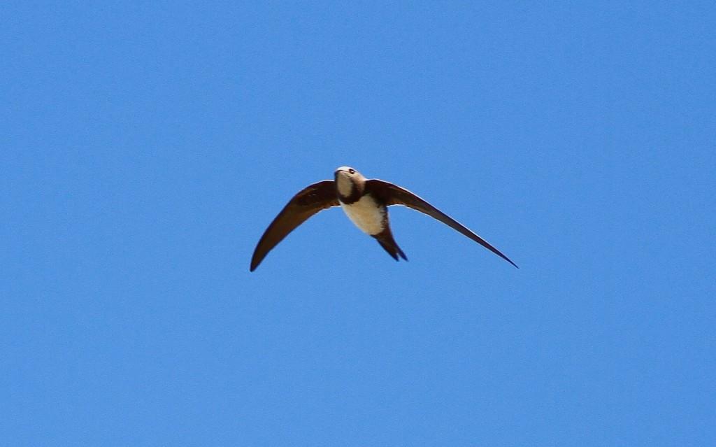 Alpine Swift, North Landing, by Craig Thomas