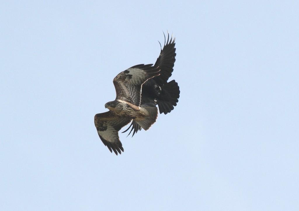 Common Buzzard, by Alan Walkington