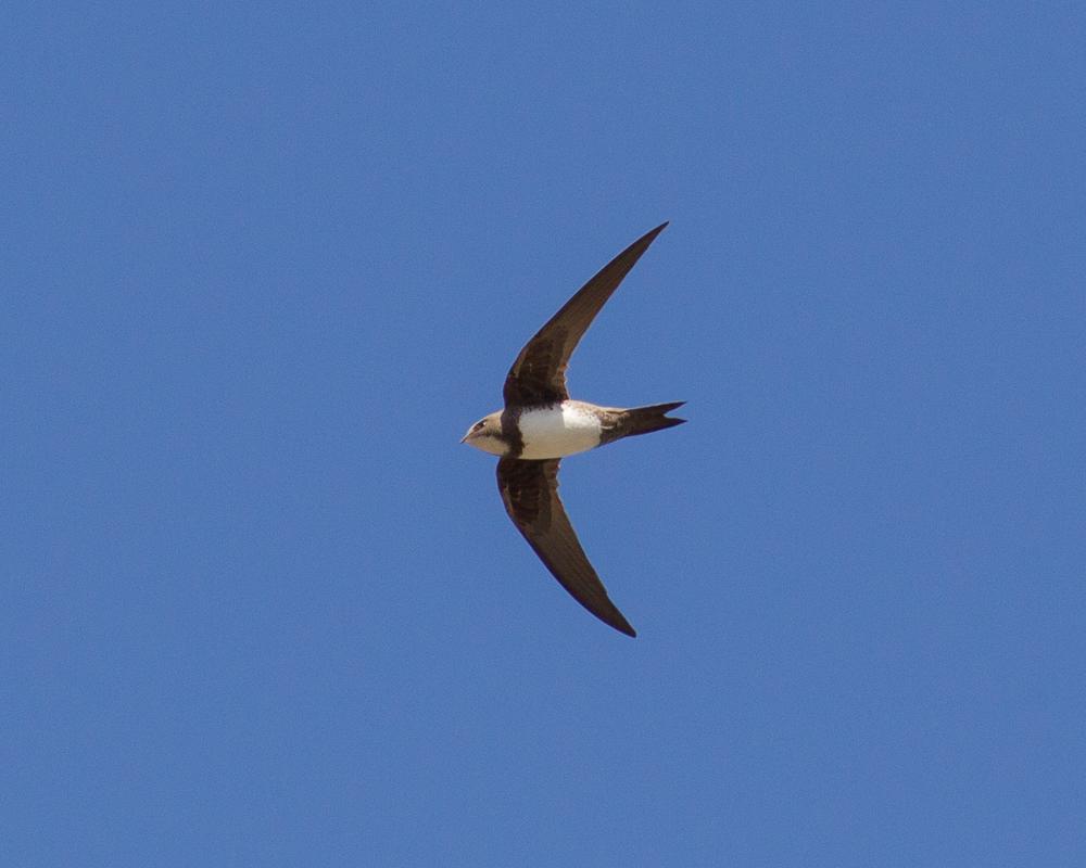 Alpine Swift, North Landing, by Dave Aitken