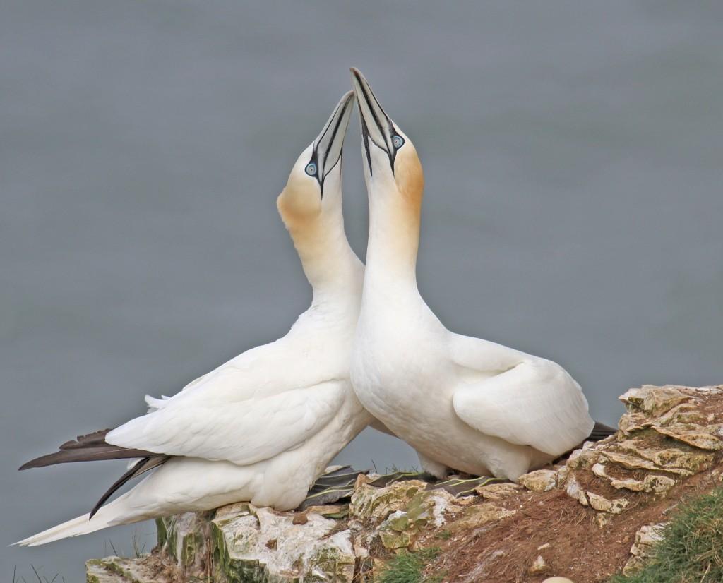 Gannets, Bempton, by Lee Johnson