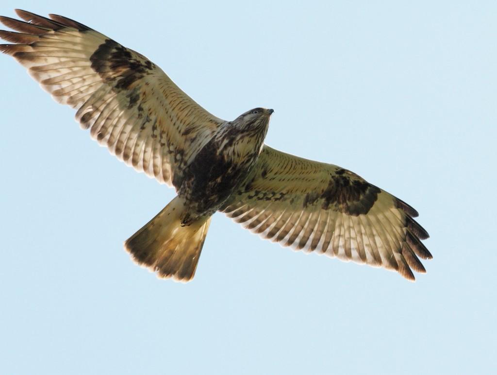 Rough-legged Buzzard, Buckton, by Alan Walkington