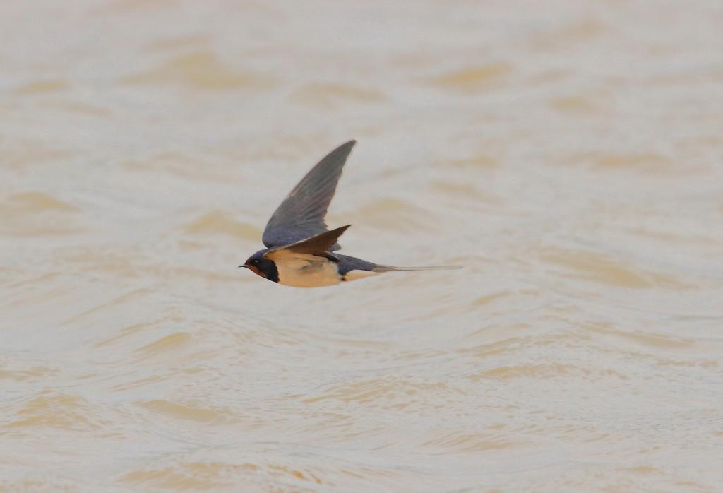 Swallow, Thornwick Pool, by Alan Walkington