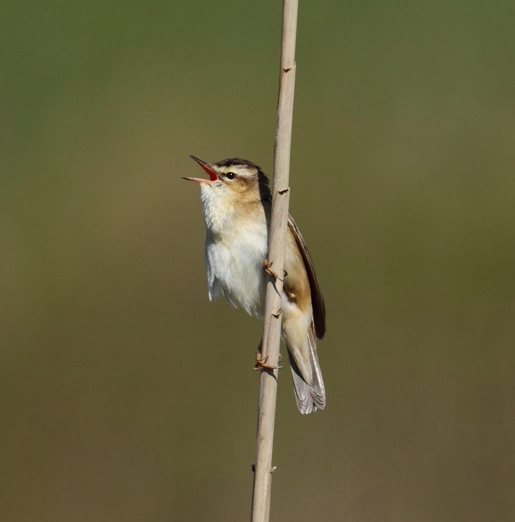 Sedge Warbler, Thornwick Pool, by Alan Walkington